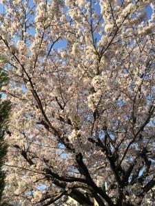 2014桜②