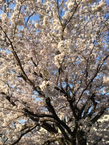 2014桜①